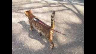 ベンガル猫のお散歩 梅林散策大和編