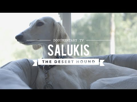ALL ABOUT LIVING WITH SALUKIS: THE DESERT HOUND