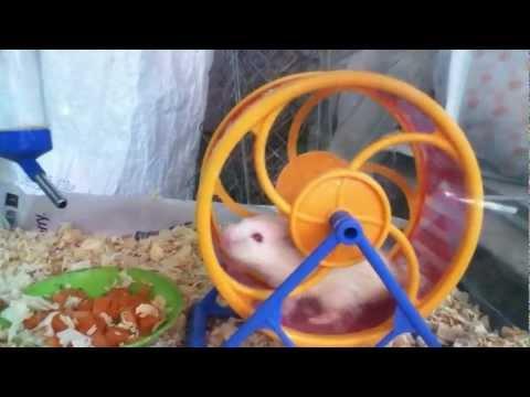 Chuột hamster chạy trên vòng quay