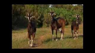 La chèvre Poitevine