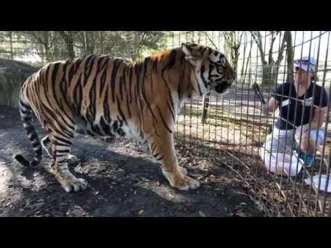 Tigers Andre & Arthur Get Snacks and Christmas Presents