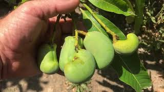 ANOTHER FRUITING MANGO IN PITTSBURG, CA