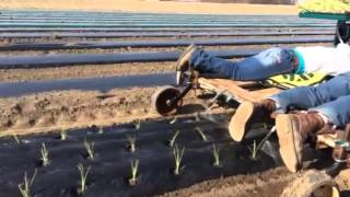 Transplanting onions with a transplanter