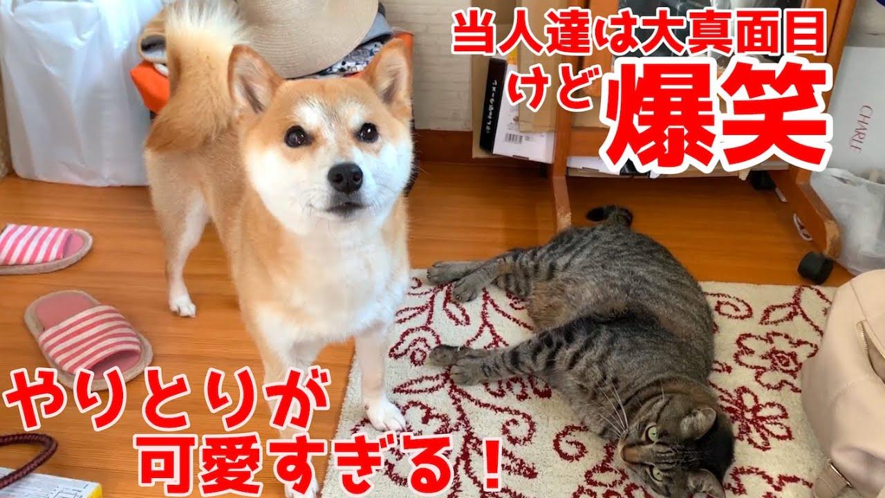 戦闘態勢の柴犬に対してまさかの行動をした猫に飼い主爆笑w shiba inu