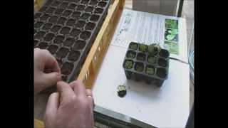 Growing Tobacco at Home video part 2 :Thinning out Seedlings