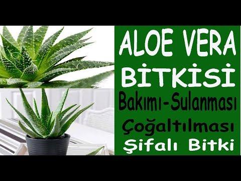 Aloe Vera bitki bakımı, sulanması ve çoğaltılması. Alovera bitki bakımı ve sulanması nasıl yapılır
