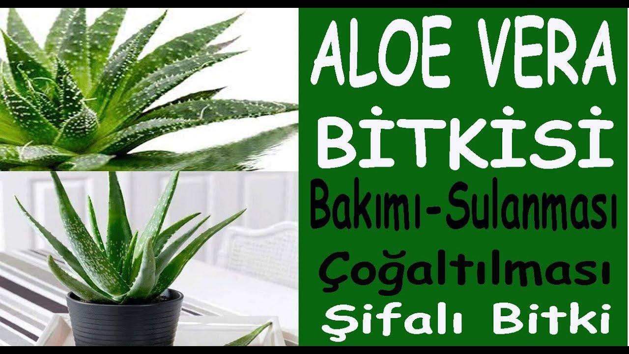Evde Aloe Vera nasıl yetiştirilir