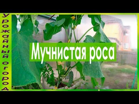 ОТЛИЧНЫЕ СРЕДСТВА ОТ МУЧНИСТОЙ РОСЫ! | выращивание | урожайный | мучнистой | средства | татьяна | рассада | урожай | огород | борьбы | росой