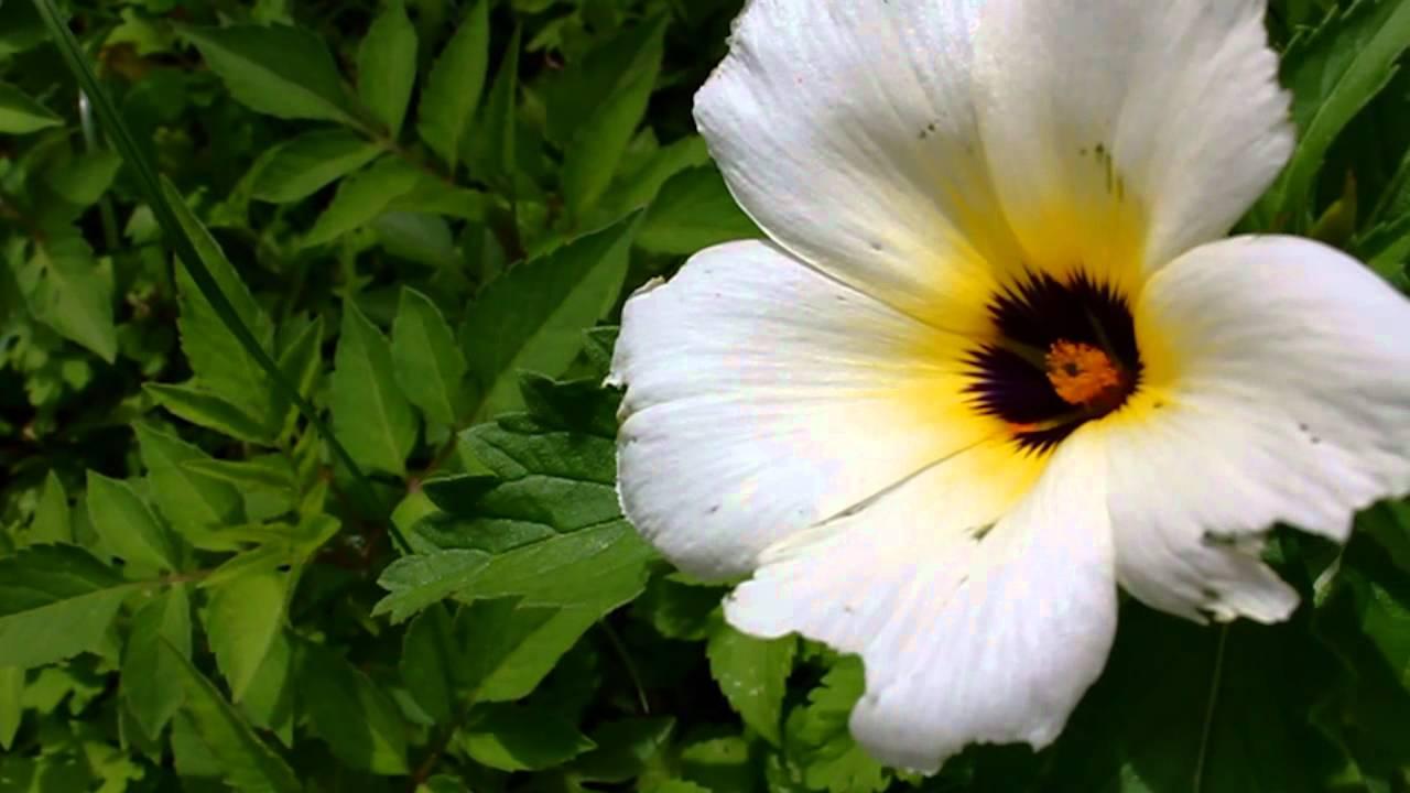 A Flor Branca Amarela Roxa Youtube