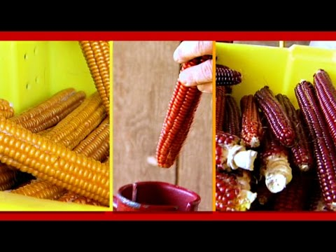 Storing and Planting Heirloom Corn