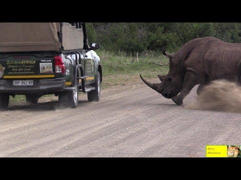 Angry Rhino Bull