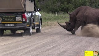 Angry Rhino Bull Attack Cars In Kruger National Park