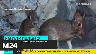 В Московском зоопарке родились детеныши чакоанской мары - Москва 24