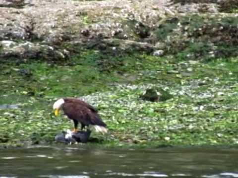 Bald Eagle takes a Heron (Pender Island, 2016)