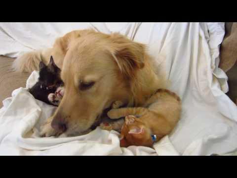 Tiny Kitten Clawing & Attacking Big Dog's Face - Super Cute! - Golden Retriever & Kitties