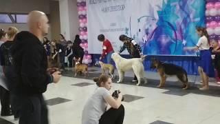 Международная Выставка Собак Азия Престиж 2018, Алматы. БЭСТ Юниоров, Тор в Бэсте