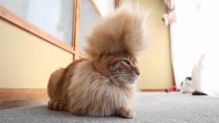 のせ猫 x モヒカン tMohawk cat#1 thumbnail