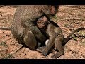 Poor baby monkey angry & cry loudly