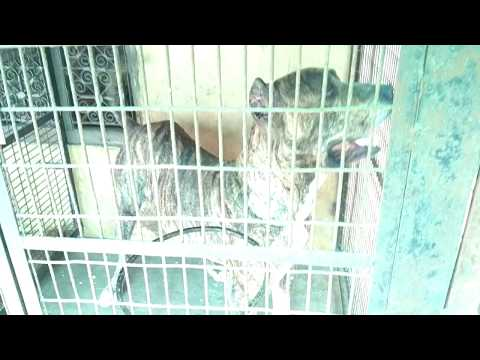 Saint bernard Napoleon mastiff bully German shepherd huskey rottweiler dog breeds farm house