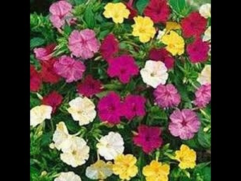 358 - How to grow n care 4 O'clock, Mirabilis Jalapa, Beauty of the night, Gul Abbas, Gulbassi (Hind