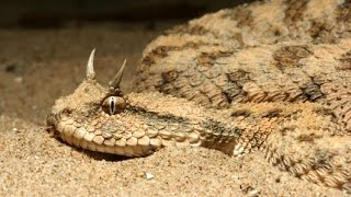 Рогатый Гремучник. Опасные обитатели Пустыни