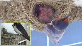 早朝5時頃、5つ目の最後の卵がかえり5羽の雛が揃いました。