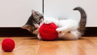 ころころ、ころころ。夢中になって遊んじゃう、毛糸玉と子猫のキャッキャウフフを総集編でどうぞ