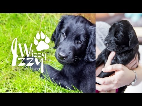 Izzy's First Day Home and Introduction (001) - Flat Coated Retriever