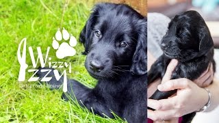 Izzy's First Day Home and Introduction (001)  Flat Coated Retriever