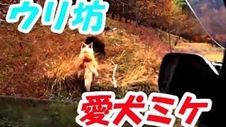 登山の帰路、ウリ坊「猪」が道を走っている。それを車内からみた愛犬「...