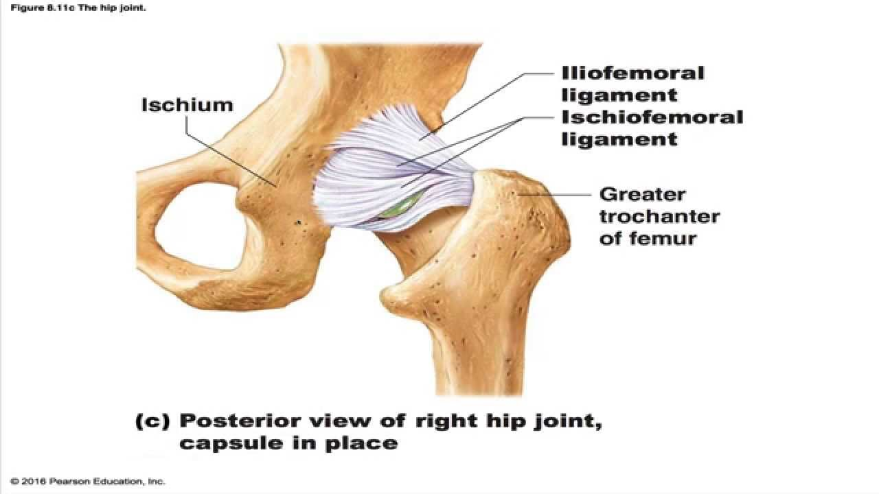 medium resolution of hip joint