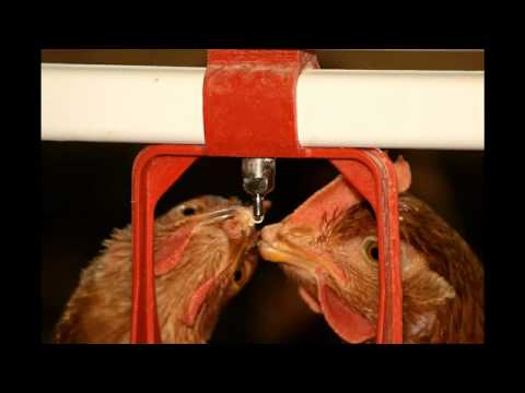Free-Walking Pampered Hens