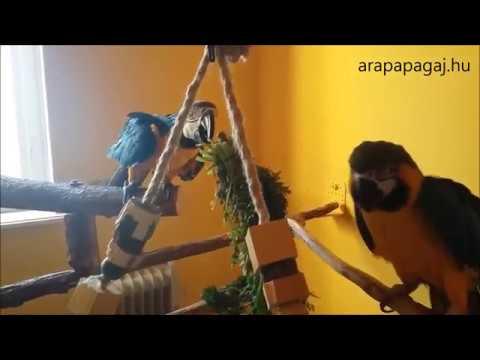 Zöldség etetése az ara papagájokkal