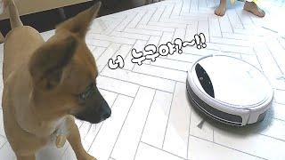 로봇청소기 처음 본 강아지 반응