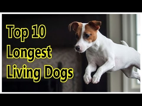 Top 10 longest living dogs ♦ pictures of dogs ♦ dog breeds