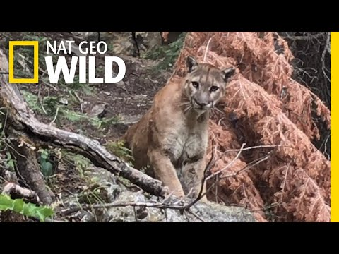 Cougar Comes Face to Face With Hikers | Nat Geo Wild
