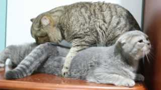 Int. Ch. Baron iṡ making love to a sweet cat Monica. CAT SEX MATING