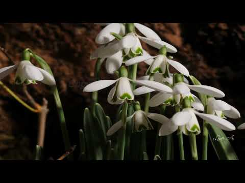♥ BACH and SNOWDROPS for EVA ♥