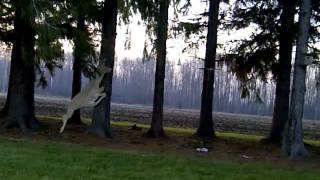 Plywood Deer Vs Shotgun
