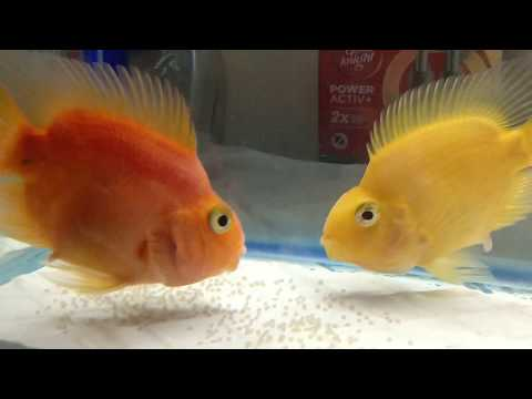 Parrot Fish Laying Eggs In Home Aquarium...plz Do SUBSCRIBE..