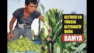 Getirisi en yüksek alternatif ürün, bamya