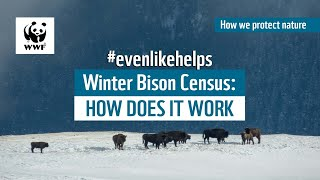 Winter Bison Census: how does it work