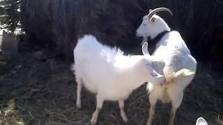 Покрываем  козу  Милу  козлом Васей 10 февраля 2018 г.
