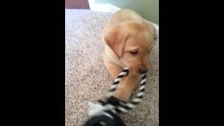 Yellow Lab Puppy For Sale! Michigan Elite Labradors