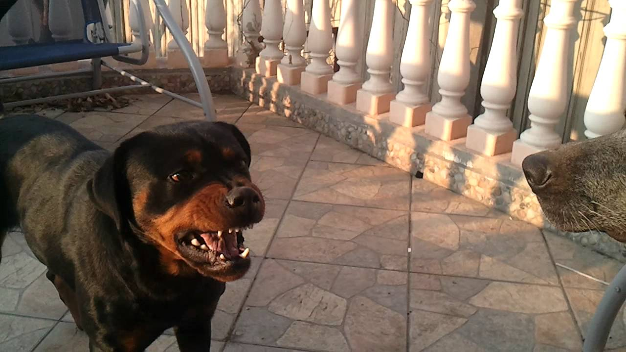 Angry rottweiler dog - photo#33