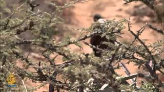 حماية النمر العربي - برنامج الشاهد الوثائقي
