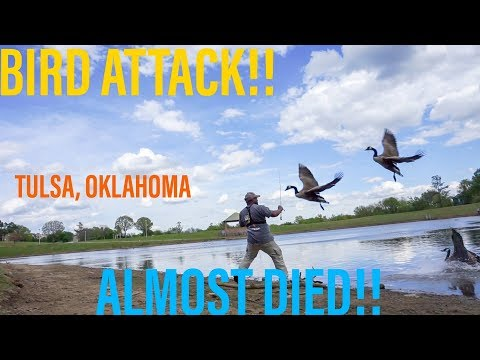 Attacked By FREAKING Geese! Holy Moly! (Bass Fishing Tulsa Ponds)