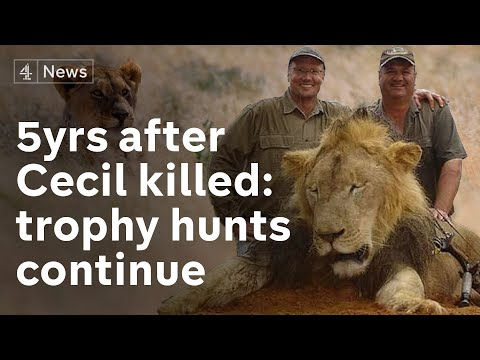 Five years after Cecil the lion was shot dead, trophy hunting continues
