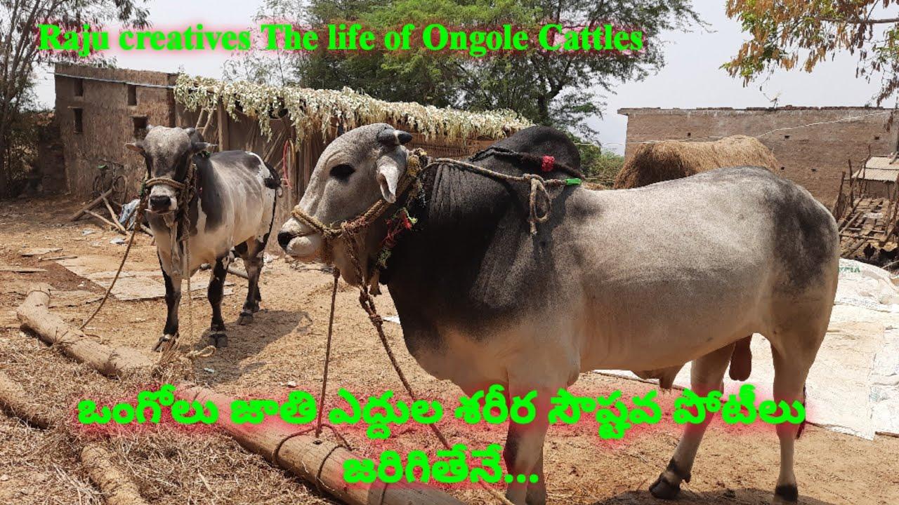 ఒంగోలు జాతి ఎద్దుల శరీర సౌష్టవ పోటీలు తిరిగి ప్రారంభం... ongole bulls