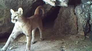 lions in a cave